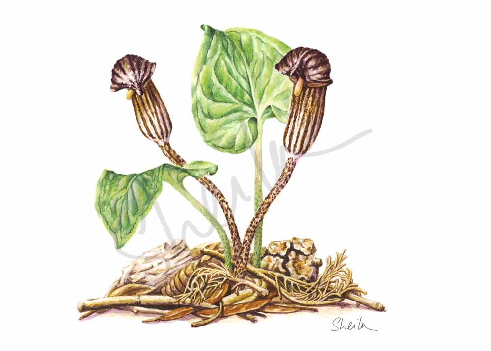 Arisarum