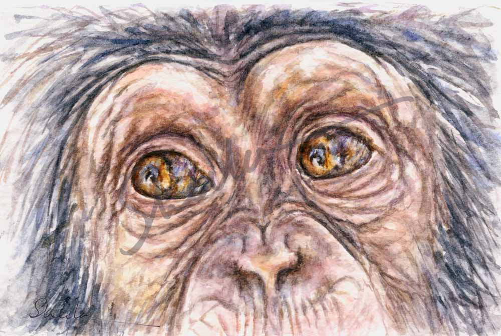 Young Chimp - Eye Study